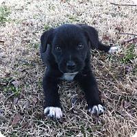 Adopt A Pet :: Outlaw - Pocahontas, AR