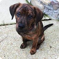 Adopt A Pet :: Josi  (Yosi) - Nashville, TN