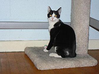 Domestic Shorthair Cat for adoption in Jenkintown, Pennsylvania - Roman - VIDEO!!