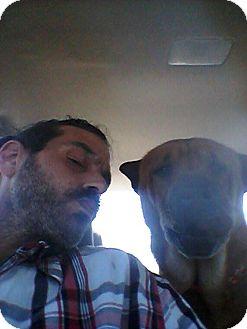 Shar Pei Mix Dog for adoption in Mira Loma, California - Luke in FL