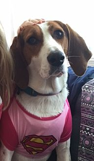 Treeing Walker Coonhound Mix Dog for adoption in Luthvle Timon, Maryland - Dolly