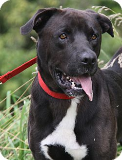 Labrador Retriever Mix Dog for adoption in Marietta, Ohio - Triton (Neutered)