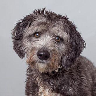 Miniature Schnauzer/Miniature Poodle Mix Dog for adoption in Mission Hills, California - Harpo