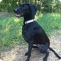 Labrador Retriever/Weimaraner Mix Dog for adoption in Brattleboro, Vermont - Baby