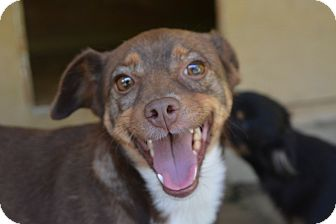 Chihuahua Mix Dog for adoption in Morristown, New Jersey - Mini