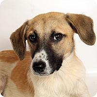 Sheltie, Shetland Sheepdog/Australian Cattle Dog Mix Dog for adoption in St. Louis, Missouri - Aaron Sheltie Heeler