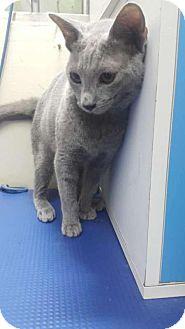 Siamese Cat for adoption in Sherman Oaks, California - Apollo