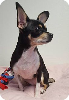 Chihuahua Dog for adoption in Schaumburg, Illinois - ChaCha-adopted