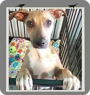 Shar Pei Mix Puppy for adoption in Mesa, Arizona - Mocha