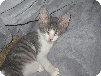 Domestic Shorthair Kitten for adoption in Newtown, Connecticut - Will