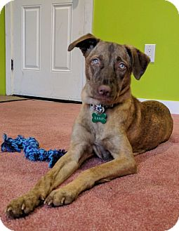 Hound (Unknown Type) Puppy for adoption in Monroe, New Jersey - Annie- Indian Pariah Dog