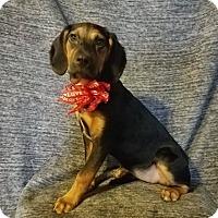 Adopt A Pet :: Ebony - New Oxford, PA