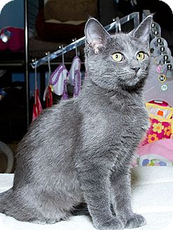 Domestic Shorthair Kitten for adoption in Sacramento, California - Habanaro N