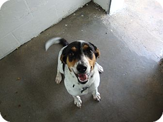 Beagle Mix Dog for adoption in Winter Haven, Florida - Dottie