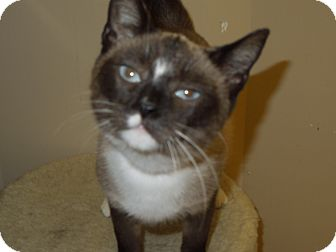 Snowshoe Cat for adoption in Medina, Ohio - Lucy