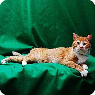 Domestic Shorthair Cat for adoption in Bonsall, California - Sunshine