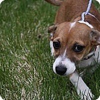 Adopt A Pet :: Bella - Broomfield, CO