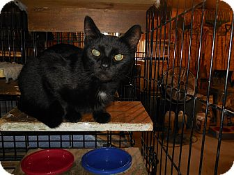 Domestic Shorthair Cat for adoption in Whiting, Indiana - Blacky