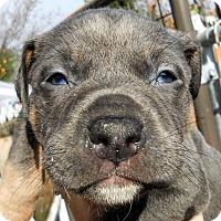 Adopt A Pet :: Baby Barry - Oakley, CA