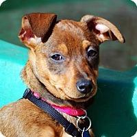 Adopt A Pet :: Joanie Cunningham - Austin, TX