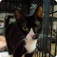 Domestic Shorthair Cat for adoption in Staten Island, New York - Molly