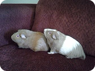 Guinea Pig for adoption in San Antonio, Texas - Willie & Donny