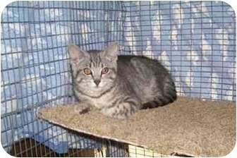 Domestic Mediumhair Cat for adoption in Davis, California - Shylee