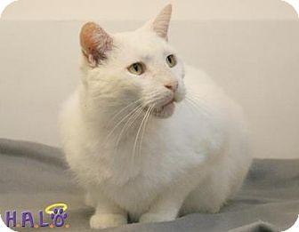 Domestic Shorthair Cat for adoption in Sebastian, Florida - Bo