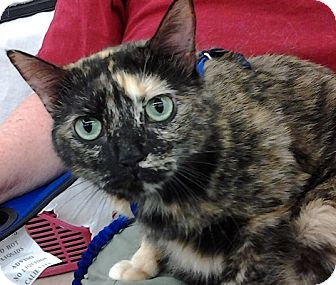 Domestic Shorthair Cat for adoption in Homosassa, Florida - Bess