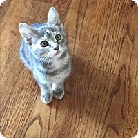 Adopt A Pet :: Lacee - Kelso/Longview, WA