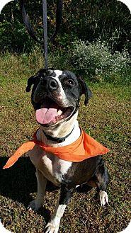 Hound (Unknown Type)/American Staffordshire Terrier Mix Dog for adoption in Williamsburg, Virginia - MOONPIE