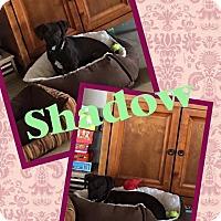 Adopt A Pet :: Shadow - Scottsdale, AZ