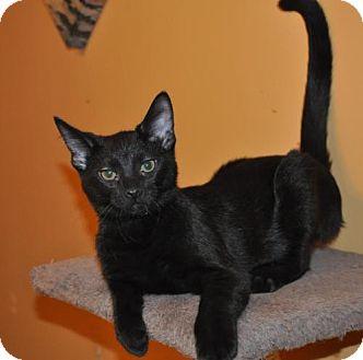 Domestic Shorthair Kitten for adoption in O'Fallon, Missouri - Trent