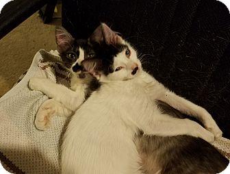 Domestic Mediumhair Kitten for adoption in Dallas, Texas - Gallagher