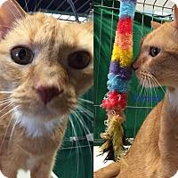Adopt A Pet :: PERCIVAL - Cliffside Park, NJ