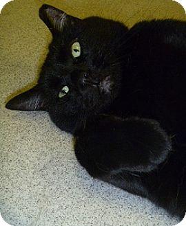Domestic Shorthair Cat for adoption in Hamburg, New York - Puddin
