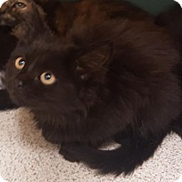 Domestic Longhair Cat for adoption in Amelia, Ohio - Molasses