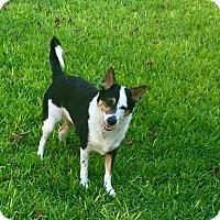 German Shepherd Dog/Australian Cattle Dog Mix Dog for adoption in San Antonio, Texas - Riot