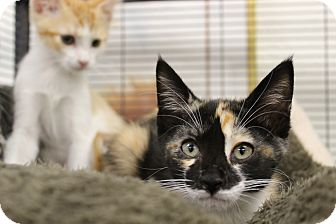 Calico Kitten for adoption in Sarasota, Florida - Sassy