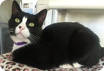 Domestic Shorthair Cat for adoption in Colorado Springs, Colorado - Afton