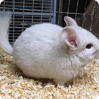 Adopt A Pet :: 3 mo goldbar male chinchilla - Hammond, IN