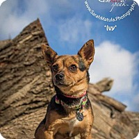Adopt A Pet :: Ivy - New Milford, CT