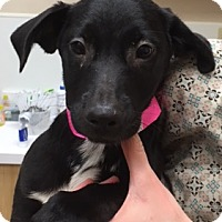 Adopt A Pet :: Abel - Fort Collins, CO