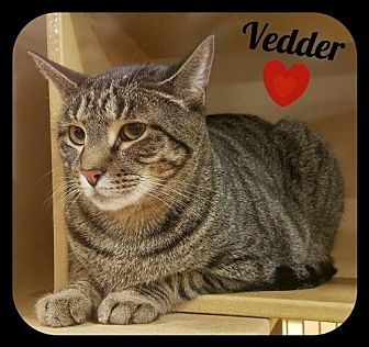 Domestic Shorthair Cat for adoption in Orlando, Florida - Vedder (LB) 9.22.14