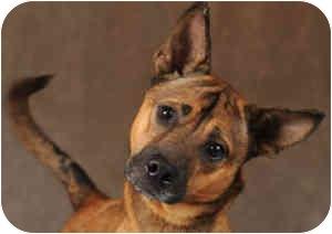 Basenji/German Shepherd Dog Mix Dog for adoption in Chicago, Illinois - Patrick