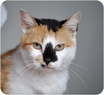 Calico Cat for adoption in Carencro, Louisiana - Dutchess