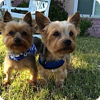 Adopt A Pet :: Boo & Scooby - Los Angeles, CA