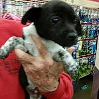 Chihuahua Puppy for adoption in Fresno, California - Manny
