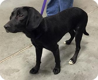 Beagle/Labrador Retriever Mix Puppy for adoption in Winder, Georgia - Sam 1