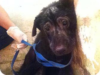 Labrador Retriever/German Shepherd Dog Mix Dog for adoption in Darlington, South Carolina - Malla